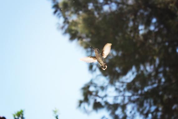 Hummingbird_0355