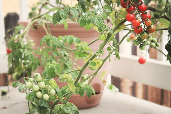 BalconyTomatoes_9983